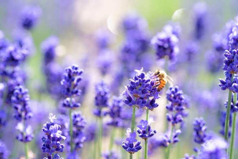 ラベンダーに留まるミツバチ